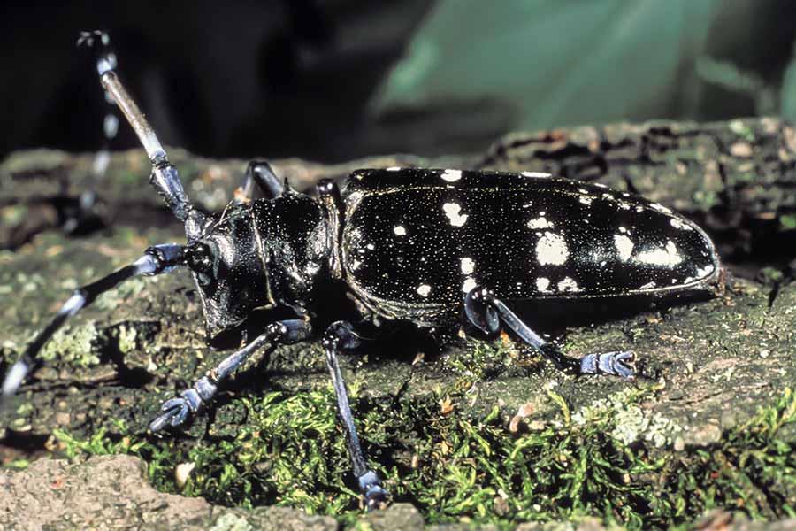Asian Longhorned Beetle on tree
