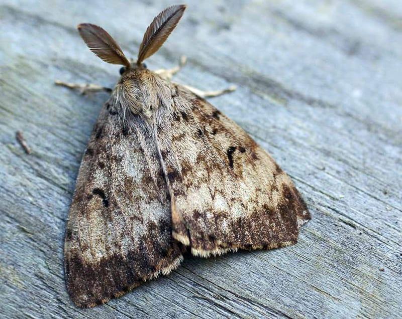 Gypsy Moth on tree